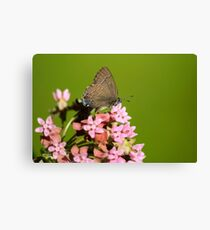 Hairstreak Butterfly and Flowers Canvas Print