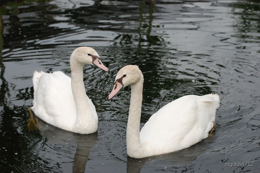 Swan Love by mgoldst712