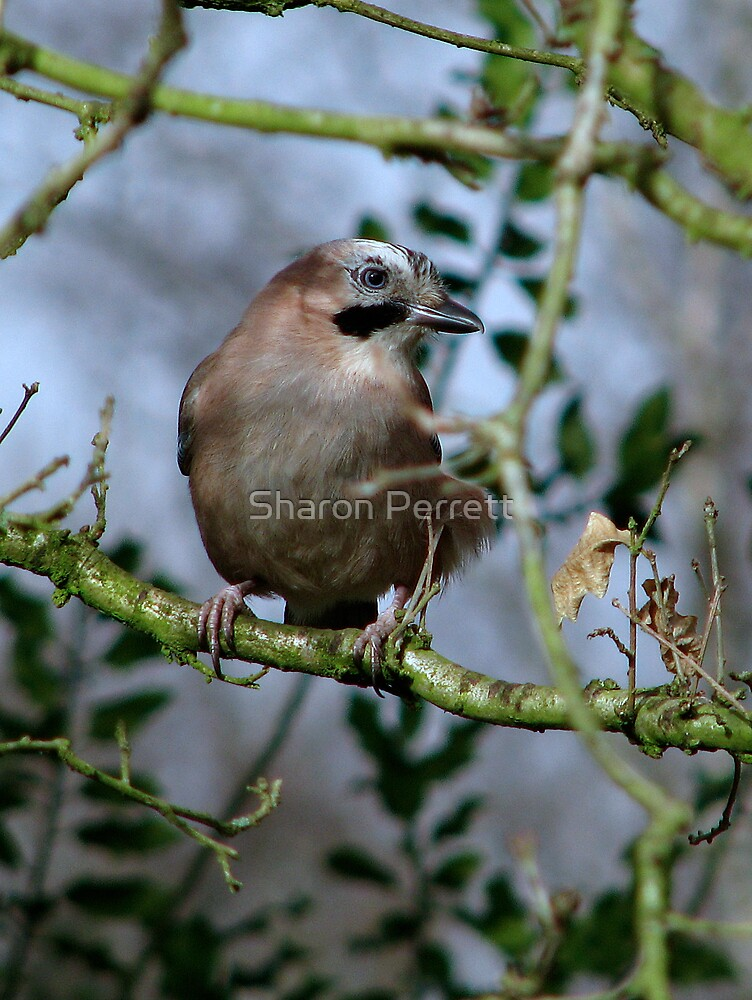 Another Jay by Sharon Perrett