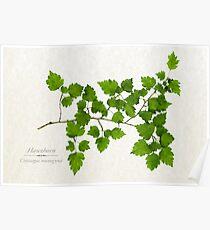 Hawthorn Tree Poster