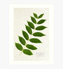 Black Walnut Tree Art Print