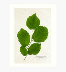 Beaked Hazel Tree Art Print