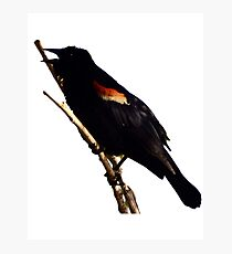 March Crow Photographic Print