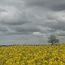 Rape(Canola) Field with Tree and Clouds by Billlee