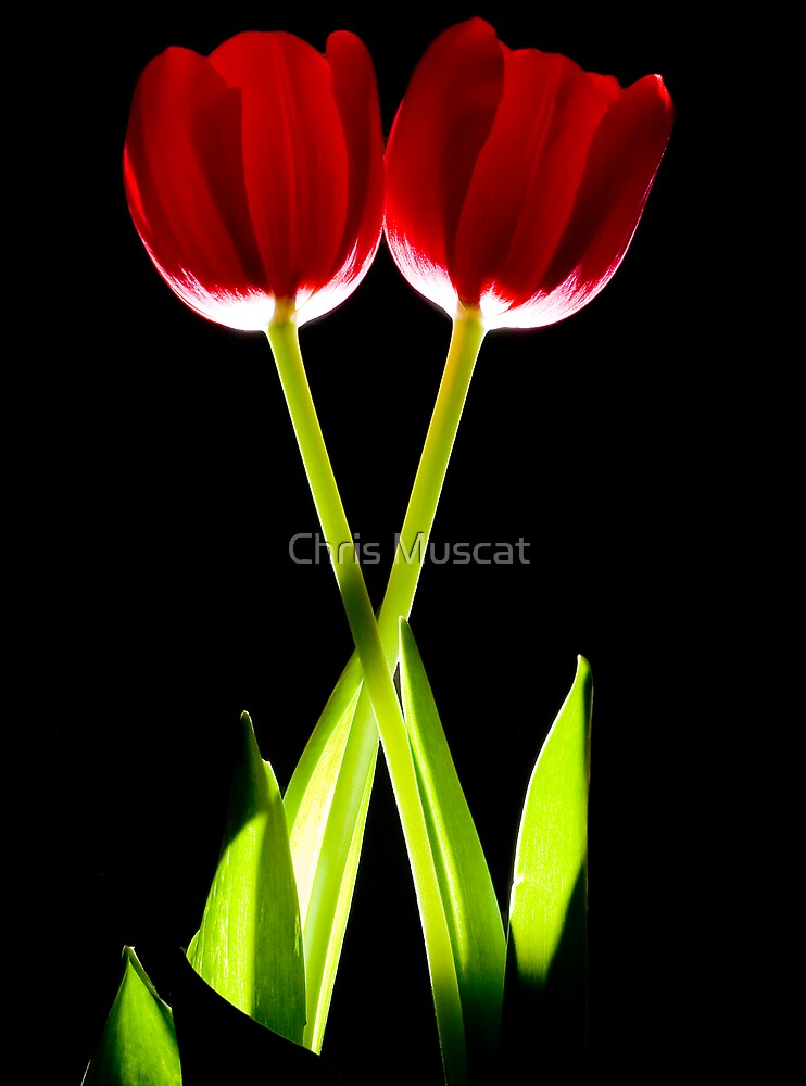 Tulips by Chris Muscat