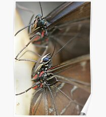 Pair of Blue Morpho Poster