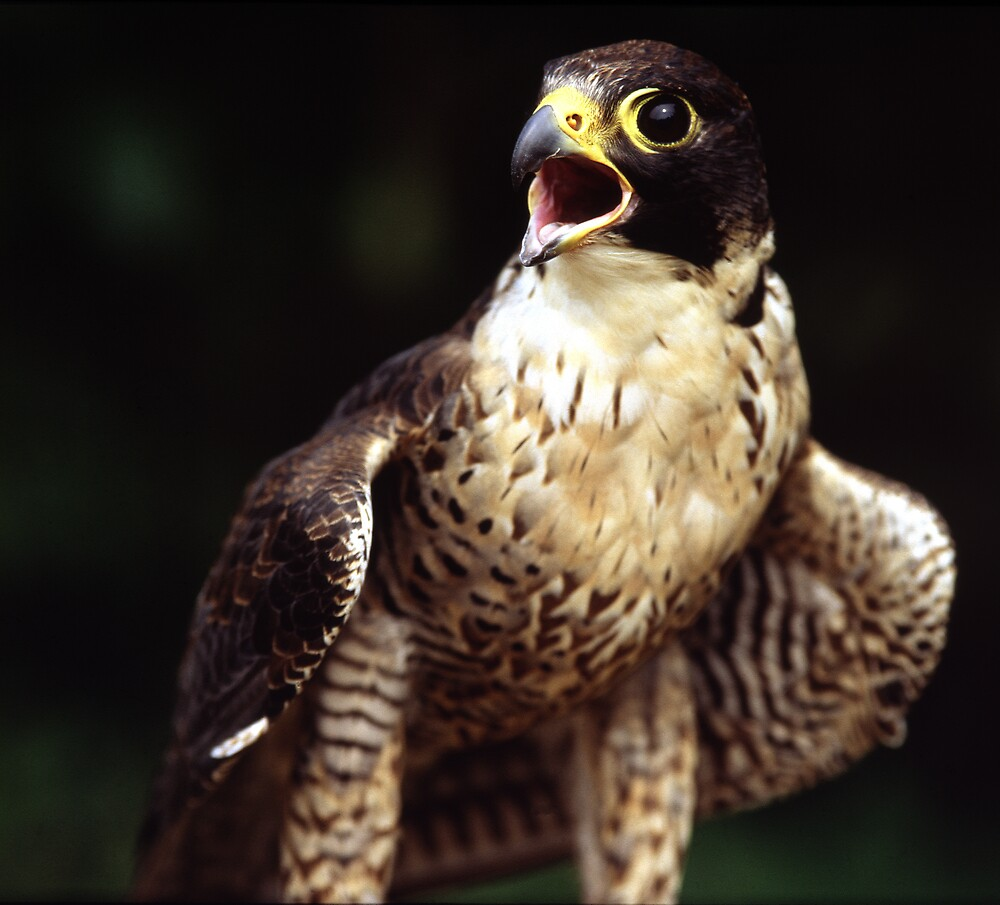 Peregrine Falcon by kitlew