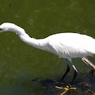 Egret Fishing by Anne Smyth