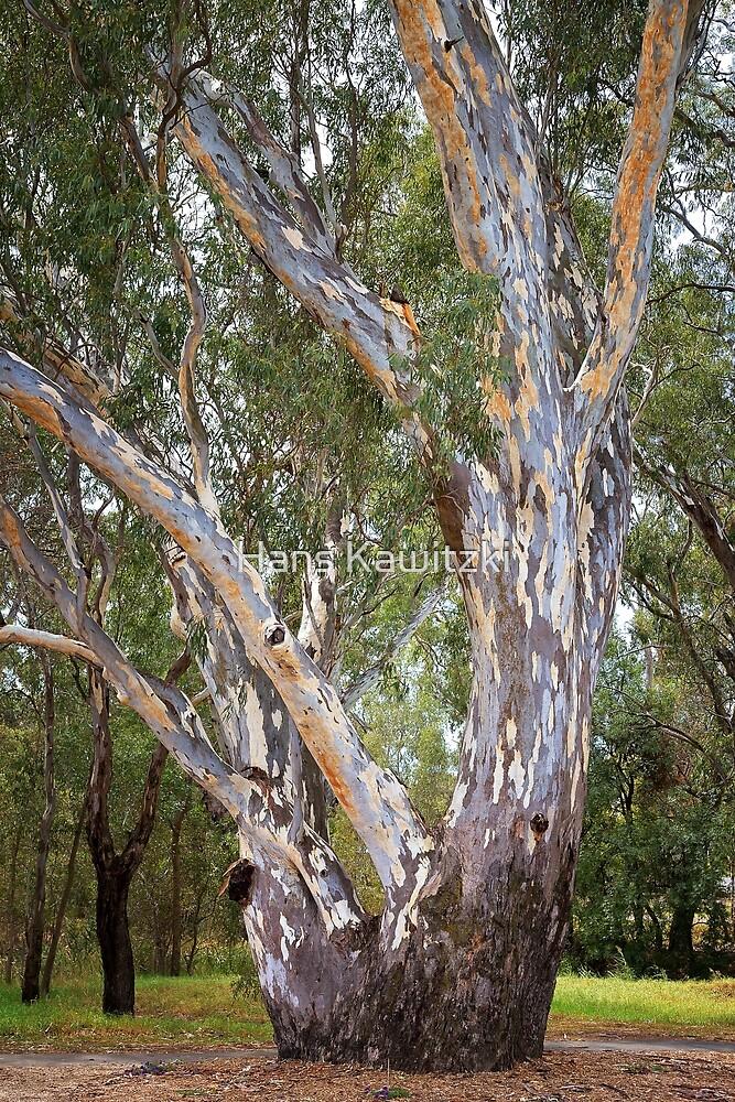 1574 Mighty gum tree by Hans Kawitzki