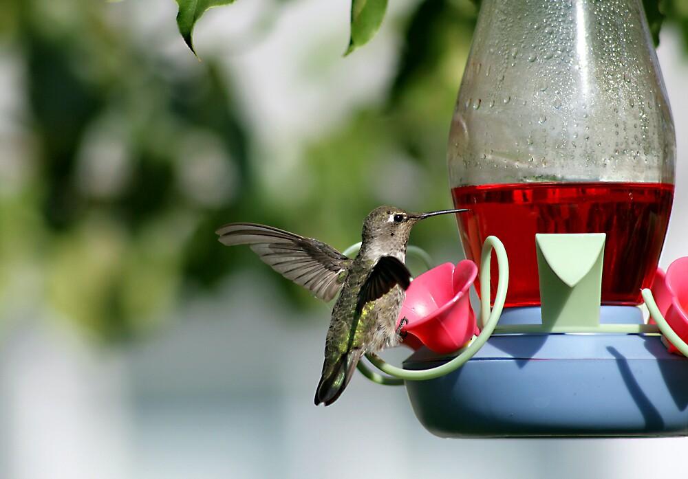 Hummingbird at Feeder by Debbie Sickler