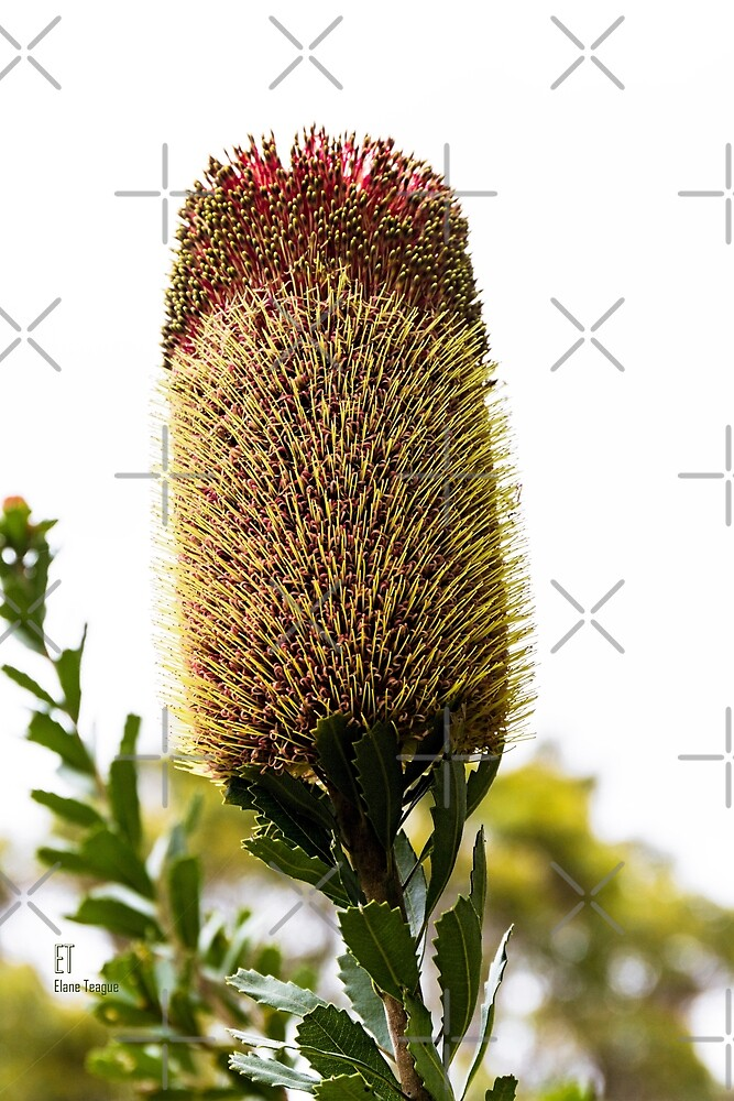Banksia (unknown) by Elaine Teague