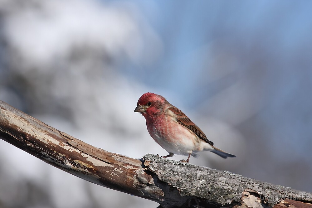 Purple Finch by Gregg Williams