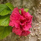 Rough and Soft - Satiny Pink Hibiscus Against Coarse Stony Cliff by Georgia Mizuleva