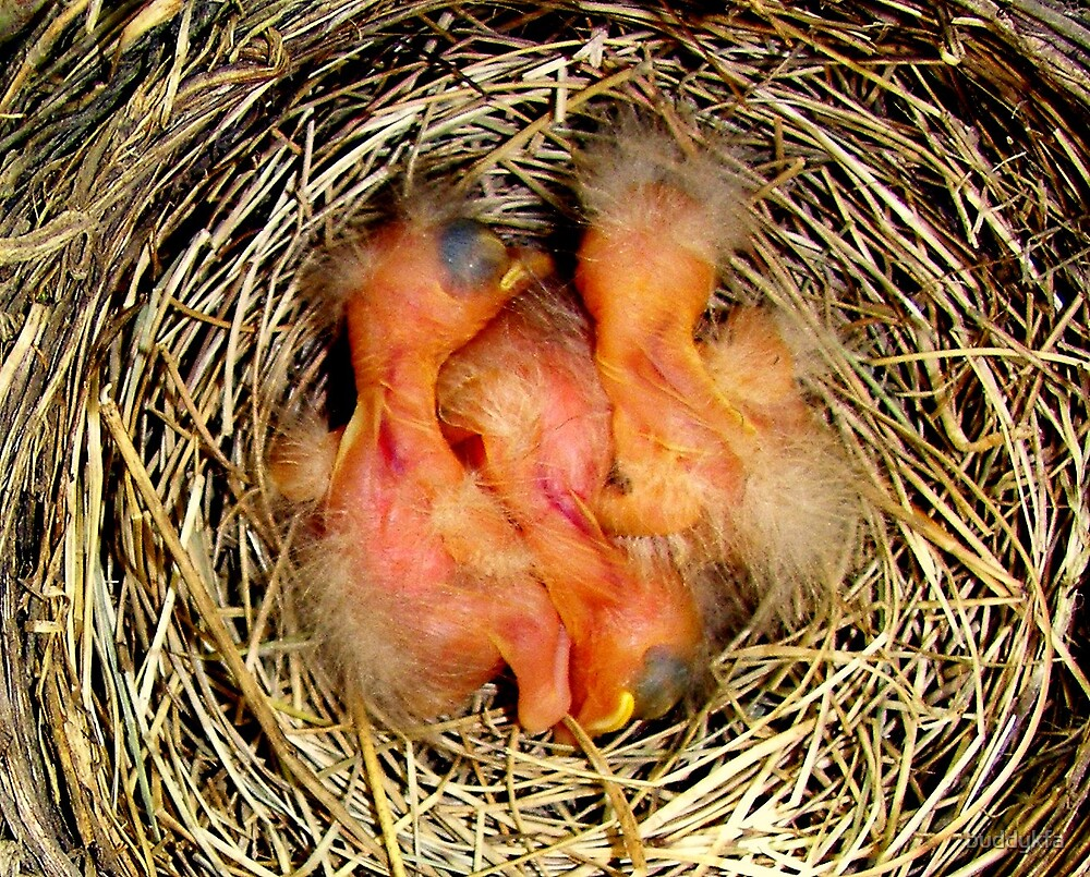 Newborn Robins by buddykfa