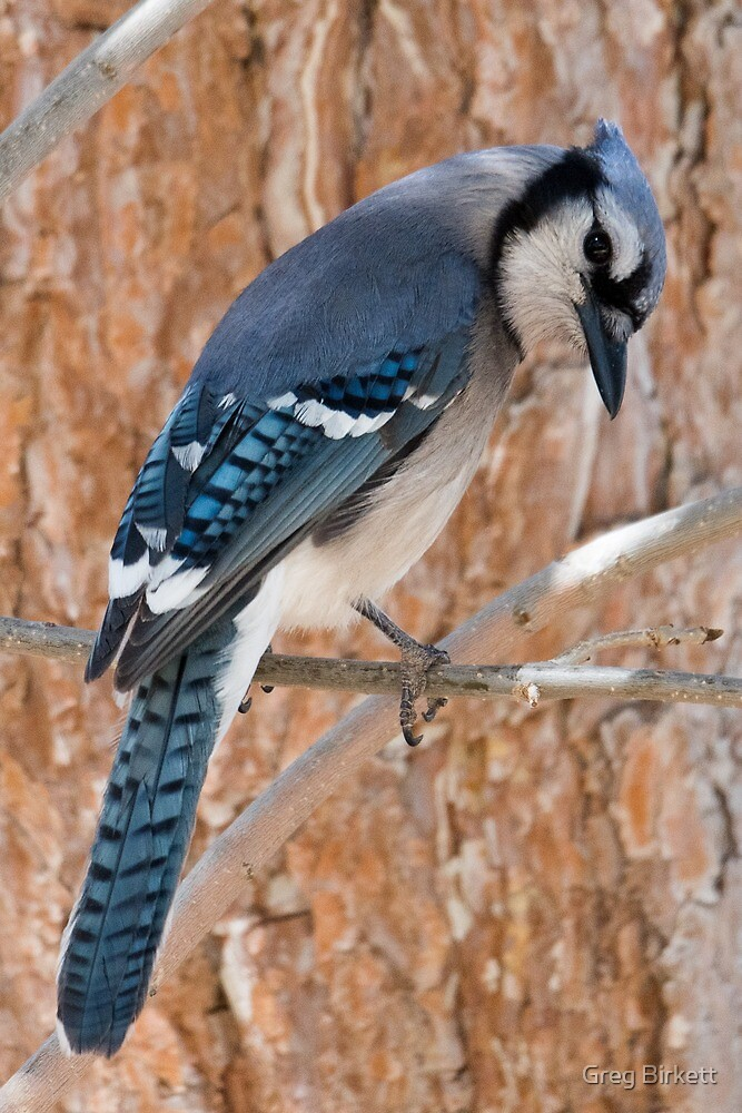 Thoughtful Blue Jay by Greg Birkett