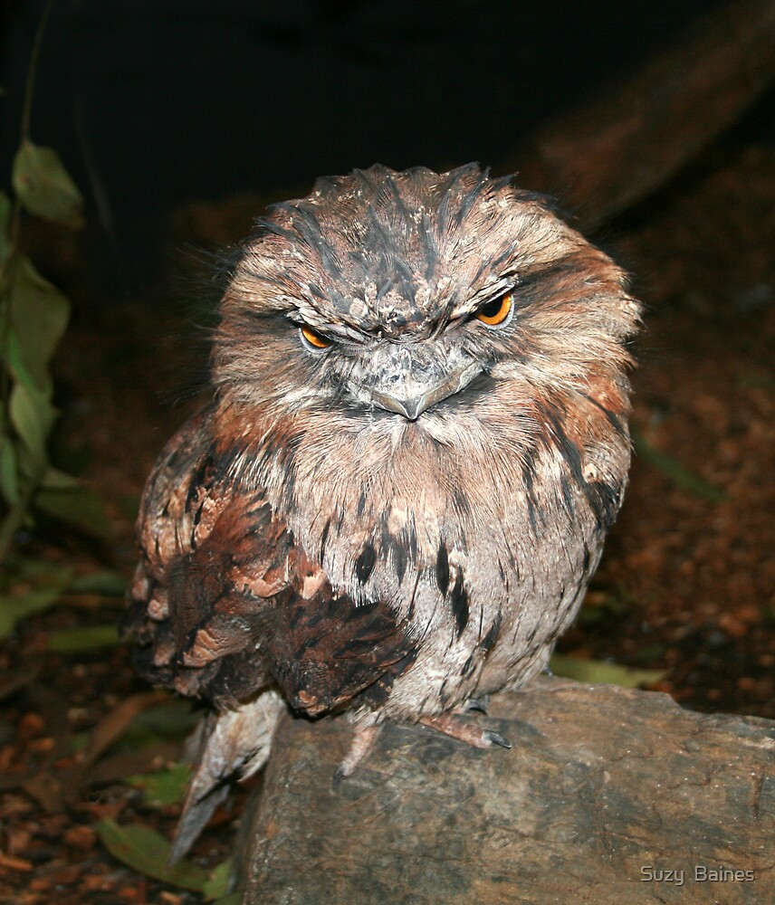 Tawny Frogmouth by Suzy  Baines