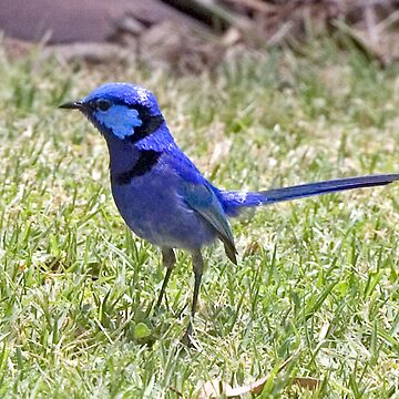 male splendid fairy wren by shirleyscott