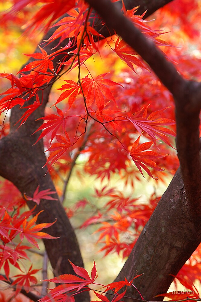 Japanese Red Maple by madron