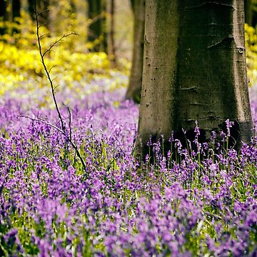 The Bluebell Wood by PeterVines