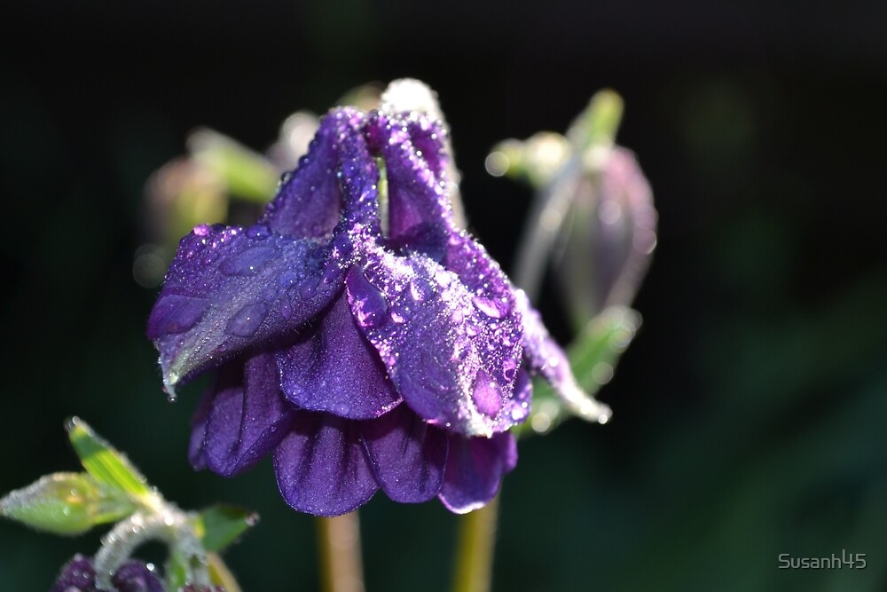 Water Droplets on Flower by Susanh45