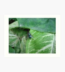 Blue bottle fly (macro), India Art Print