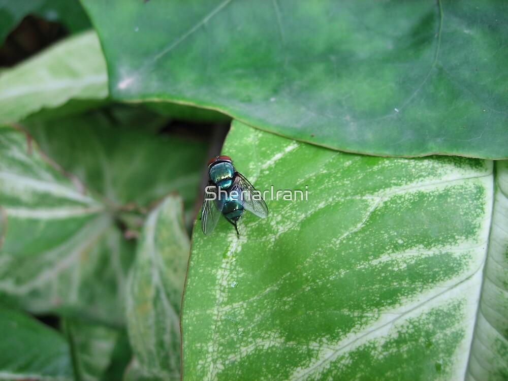 Blue bottle fly (macro), India by SheriarIrani