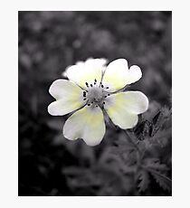 Cinquefoil flower Photographic Print
