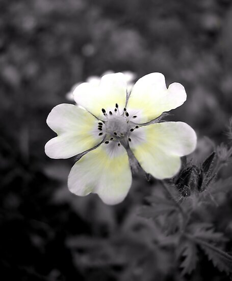 Cinquefoil flower by NorthernLala