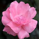 In the Pink 2 by Rosemary Sobiera