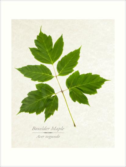 Box Elder Maple Tree by Christina Rollo
