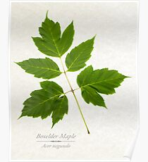 Box Elder Maple Tree Poster