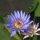 Lilly Pad by Evania