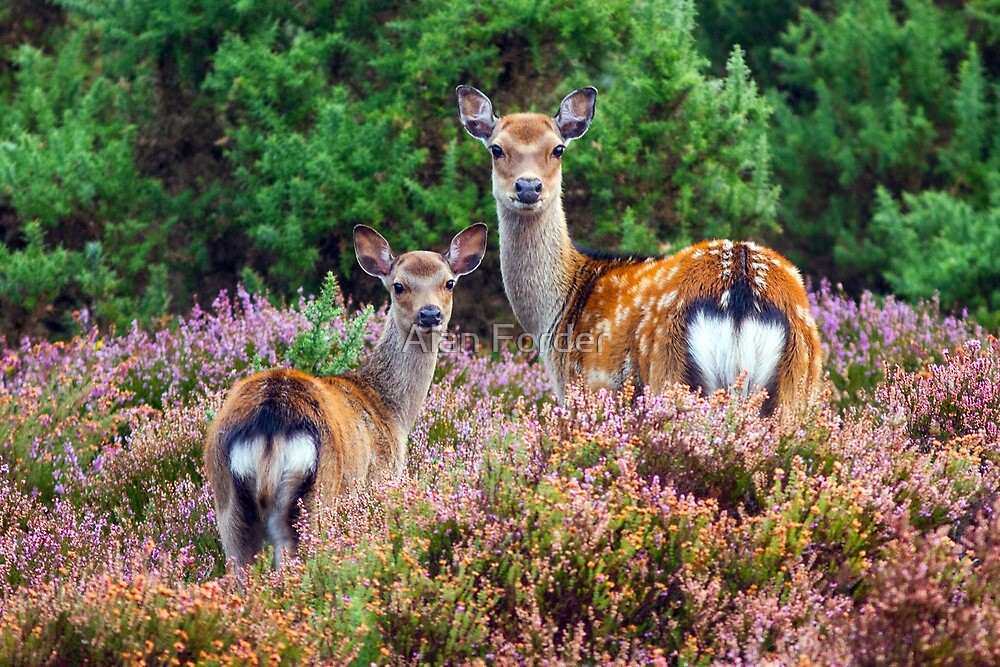 Sika hind and calf in heather by Alan Forder