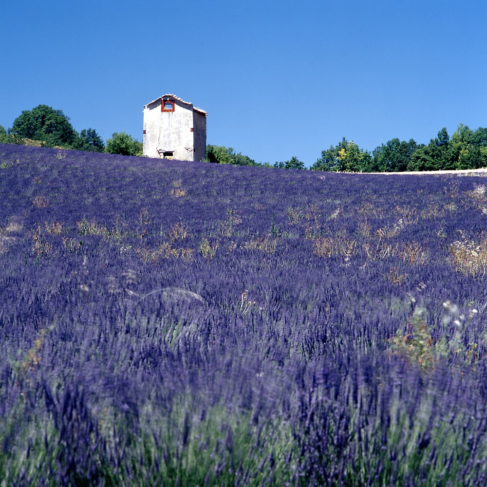 Lavender in Provence by jephoto