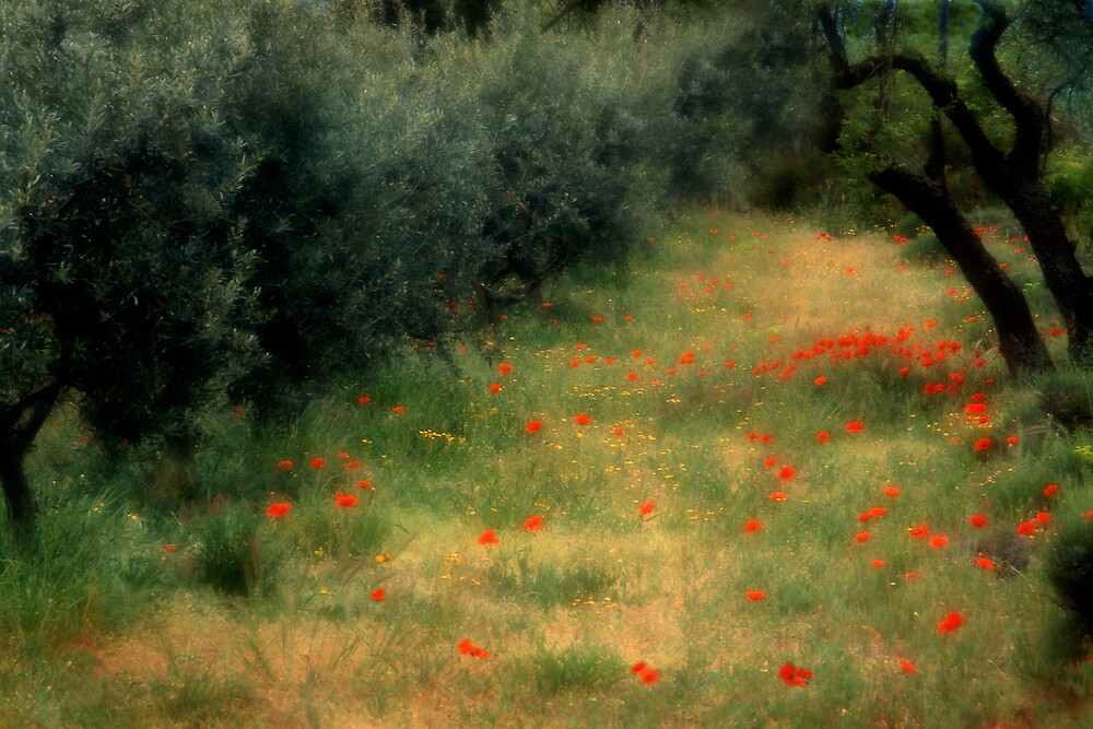 Poppies in French olive grove by jephoto