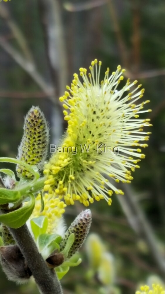 Pussy Willow - 2 by Barry W  King
