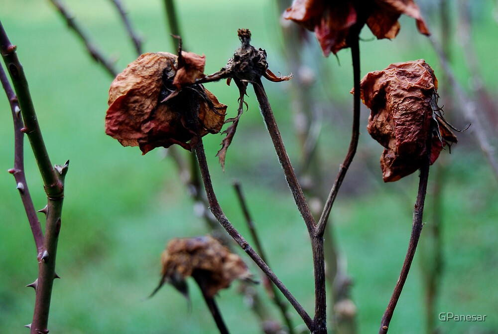 Decaying Roses by GPanesar