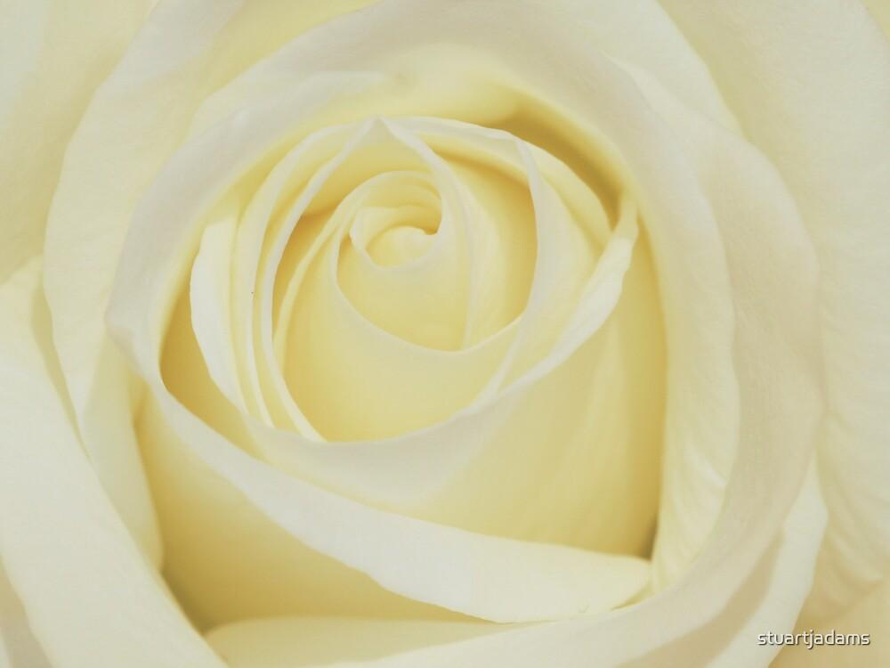 white rose macro by stuartjadams