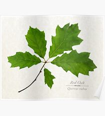 Red Oak Tree Poster