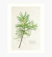 White Pine Tree Art Print