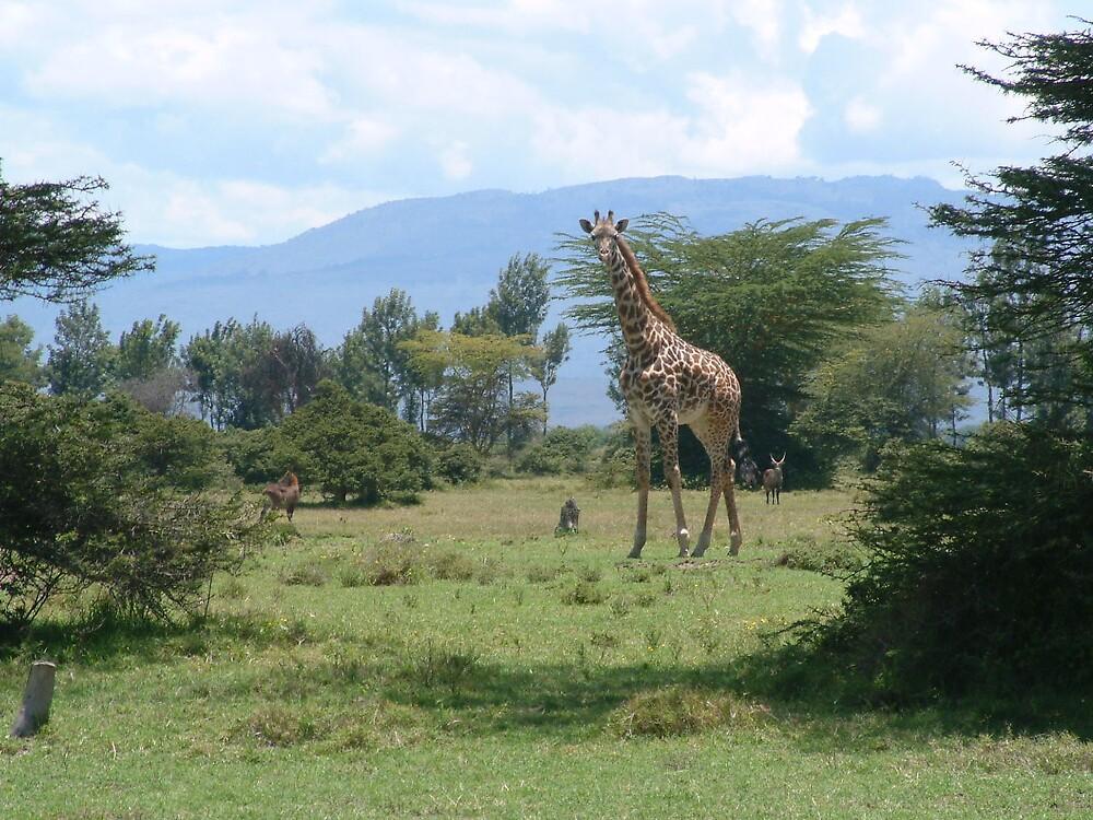 Giraffe by LauraM