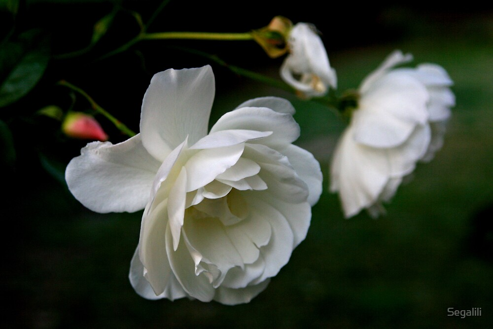 And the white rose is a dove by Segalili