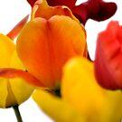 tulips by nakomis