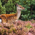 Sika Hind by Alan Forder