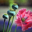 Poppy  by Savannah Gibbs