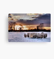 Cold Hungry Sheep Canvas Print