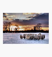 Cold Hungry Sheep Photographic Print