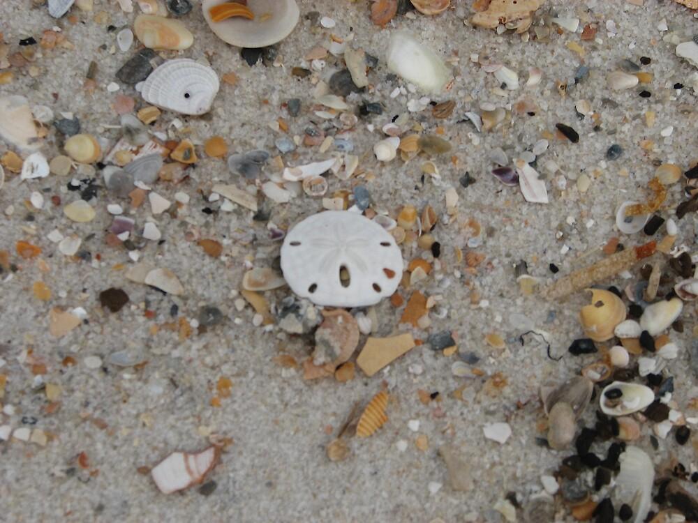 Sanddollar on the beach by IndyLady