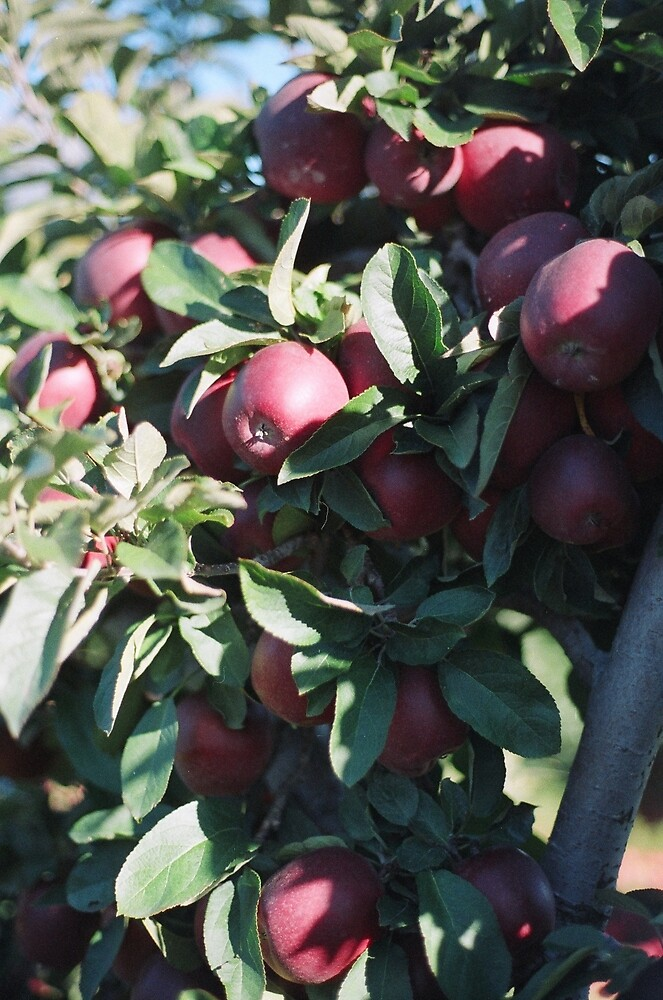 Apple Picking  by trulyshannon