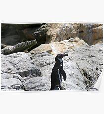 Humbold penguin Poster